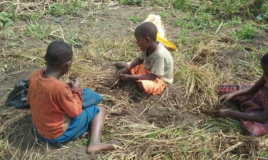 Chufas de Uganda para hacer horchata